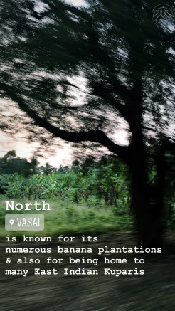 North Vasai is known for its numerous banana plantations and also for being home to many East Indian Kuparis